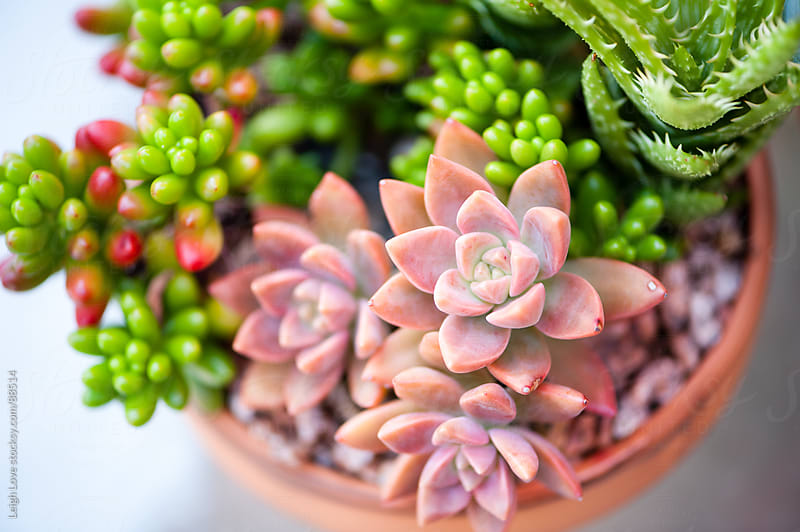 Various Sedums in a Terracotta Pot by Leigh Love for Stocksy United