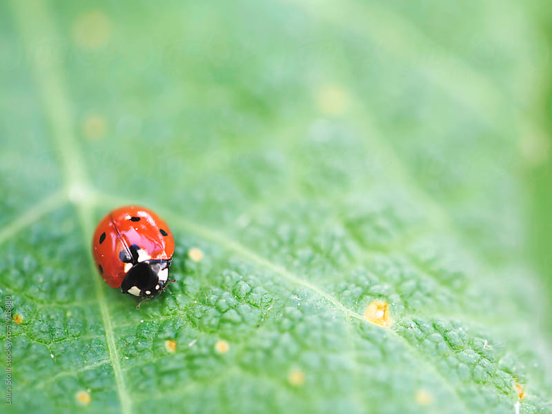Macro of ladybeetle on green leaf by Laura Stolfi for Stocksy United