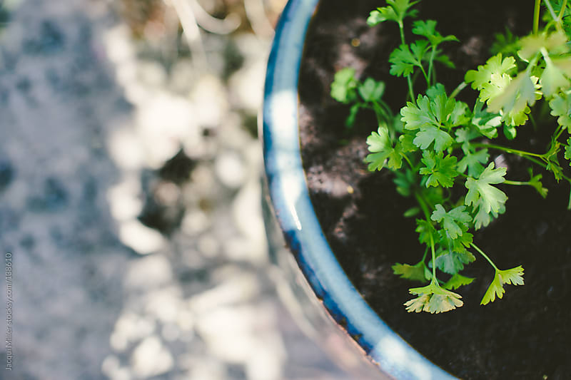 Flat leaf parsley in a blue pot.  by Jacqui Miller for Stocksy United