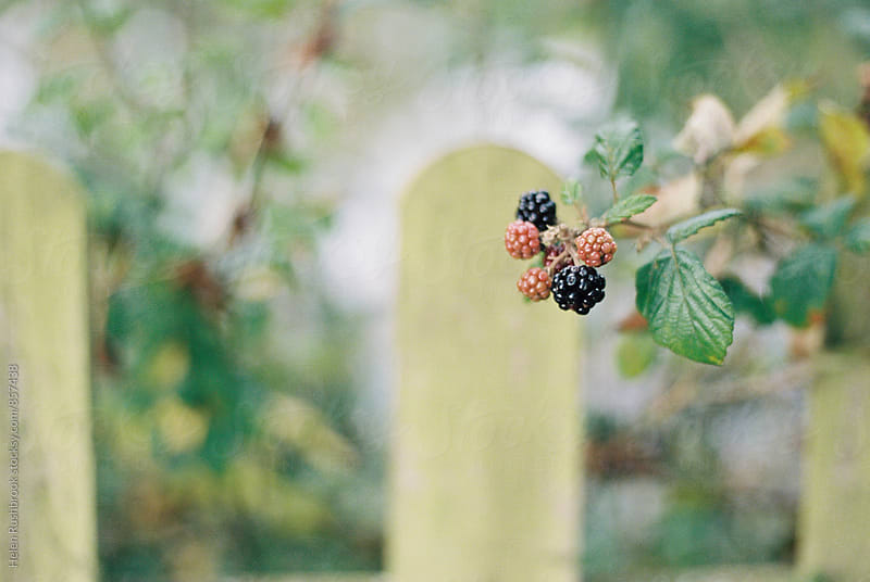 Blackberries in front of a fence by Helen Rushbrook for Stocksy United