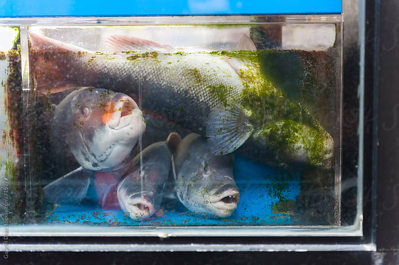 fish in the tank at the market by Gabriel Diaz for Stocksy United