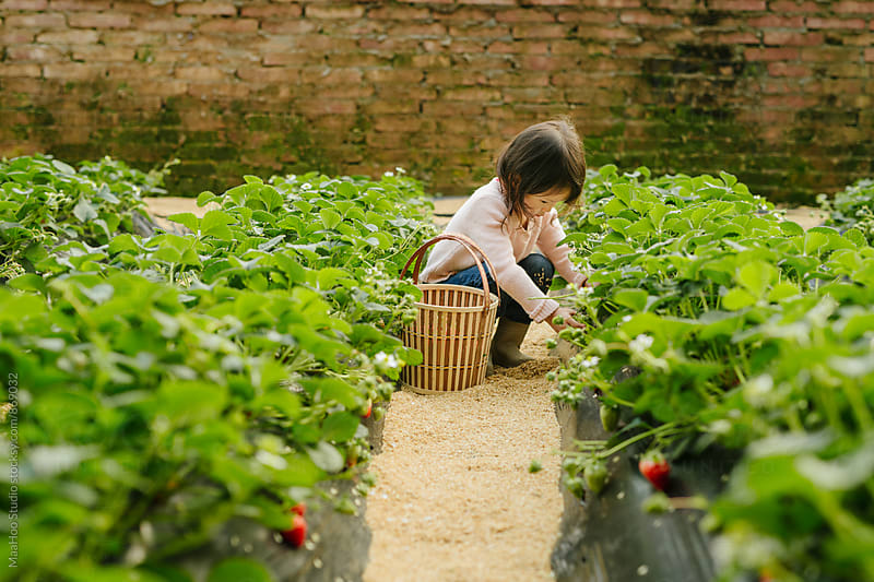 Young girl picking strawberry in greenhouse by MaaHoo Studio for Stocksy United