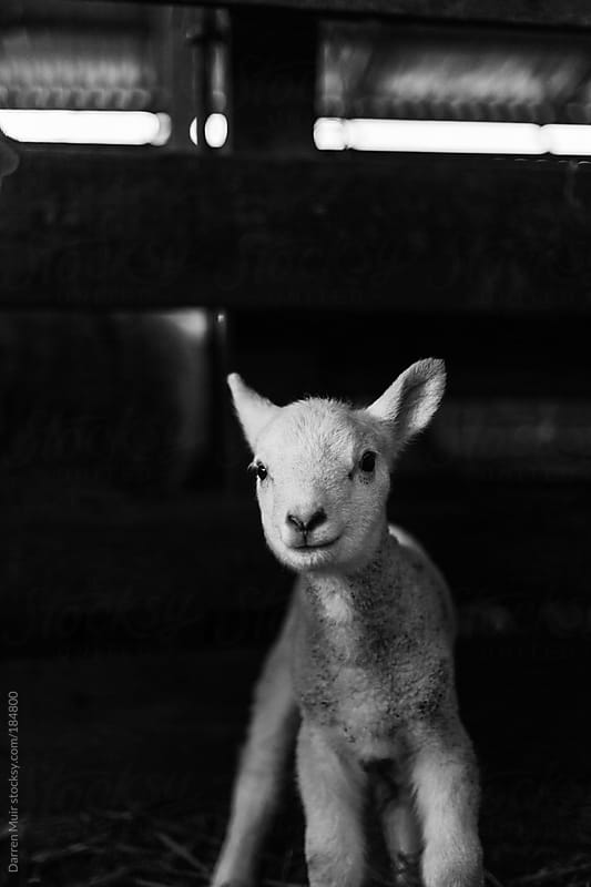 New born lamb. by Darren Muir for Stocksy United