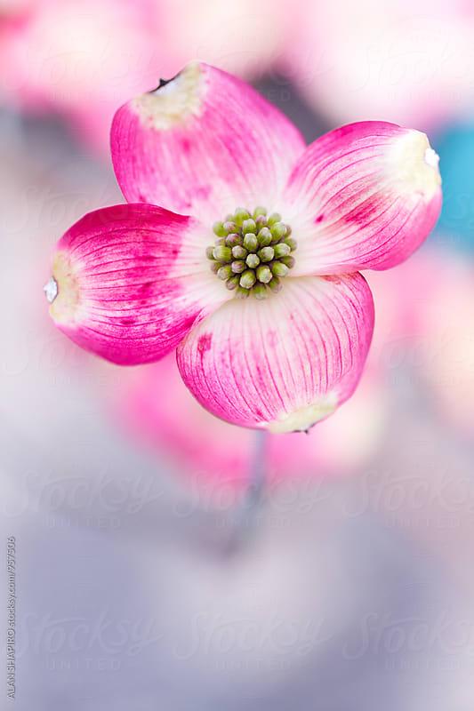Dogwood Blossom by alan shapiro for Stocksy United