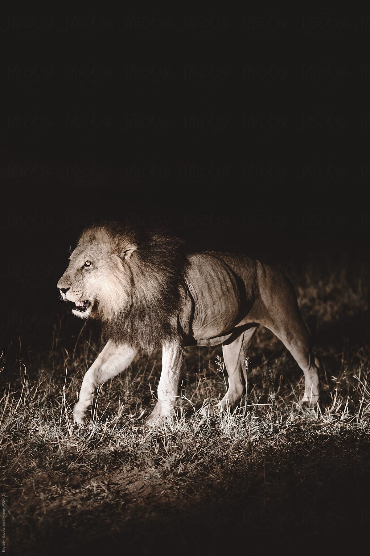 a close up portrait of a lion walking at night stocksy united