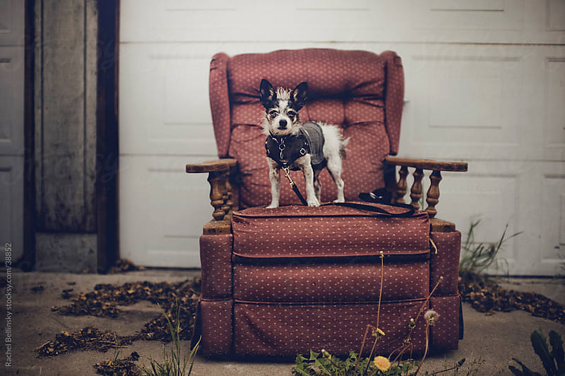 Small black and white terrier dog in a coat stands on vintage chair in alley by Rachel Bellinsky for Stocksy United
