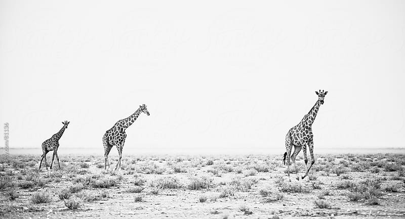 African Giraffes on a grassy plain by Micky Wiswedel for Stocksy United