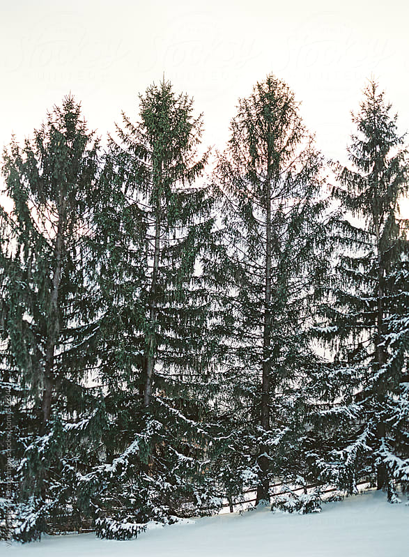 Evergreens covered in snow  by Vicki Grafton Photography for Stocksy United