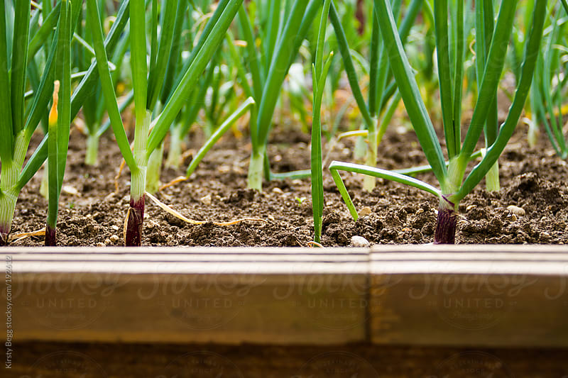 Rows of spring onions in vegetable patch by Kirsty Begg for Stocksy United