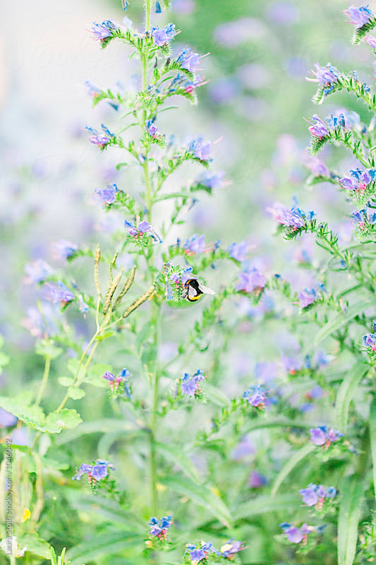 Bumblee bee eating from flower amongst many Echium plants in blossom by Laura Stolfi for Stocksy United