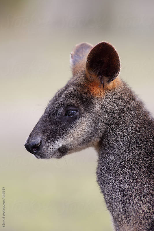 Swamp wallaby in profile by Marcel for Stocksy United