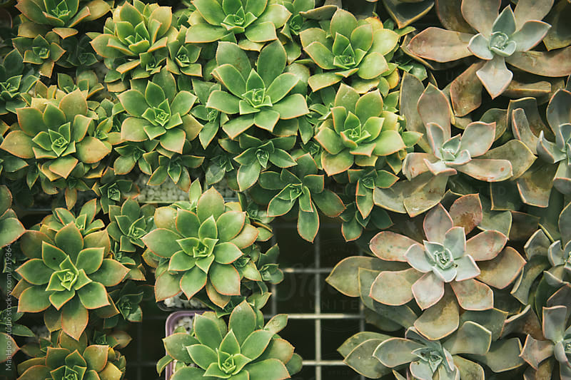 Succulent plants in Greenhouse by Maa Hoo for Stocksy United