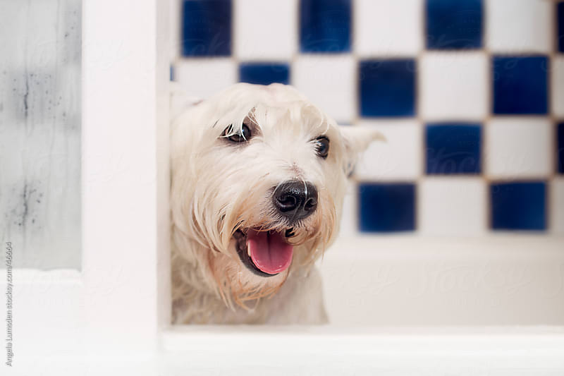 Small white dog sitting in a bath tub by Angela Lumsden for Stocksy United