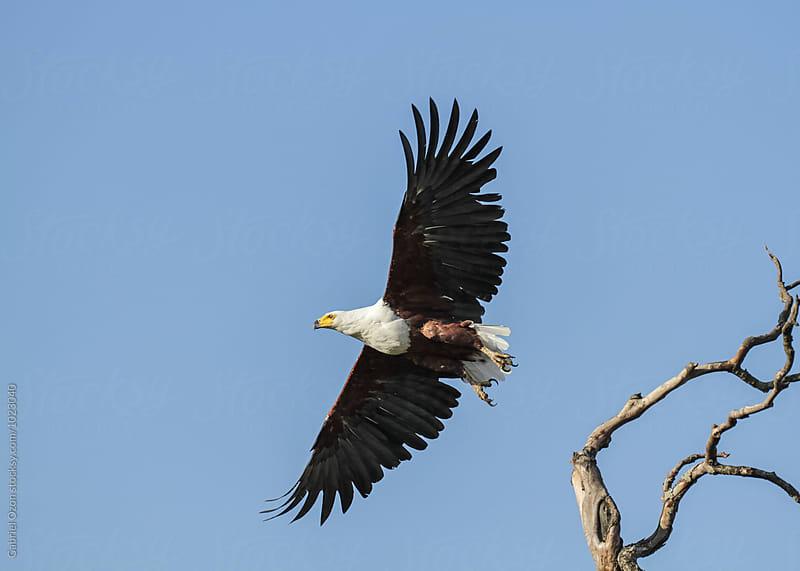 African Fish Eagle by Gabriel Ozon for Stocksy United