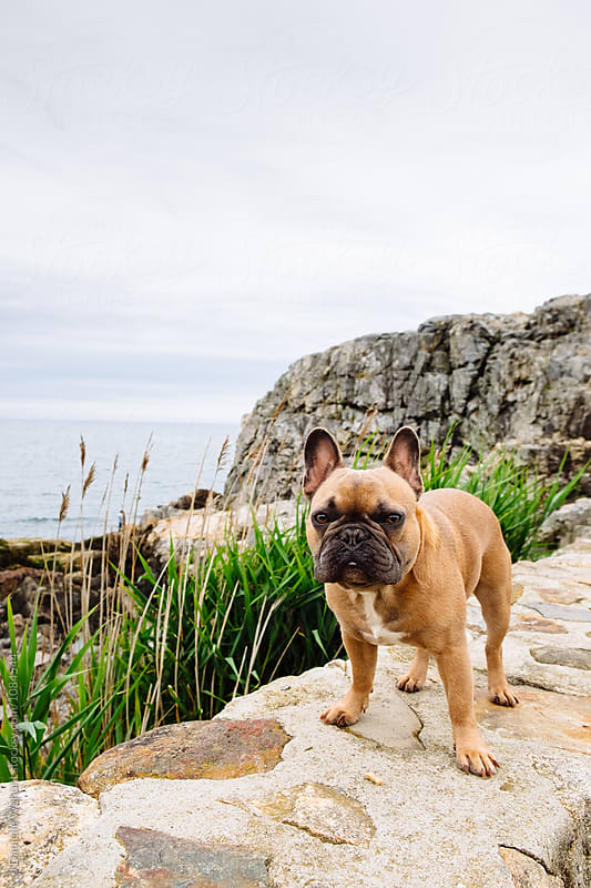 A brown french bulldog puppy at a rocky and overcast New England beach coast by J Danielle Wehunt for Stocksy United