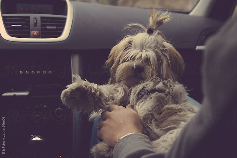 dog sitting in a lap on a front seat of a car by B & J for Stocksy United
