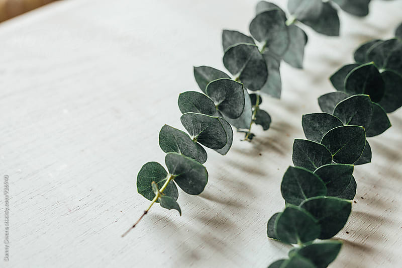 Eucalyptus 1 by Danny Owens for Stocksy United