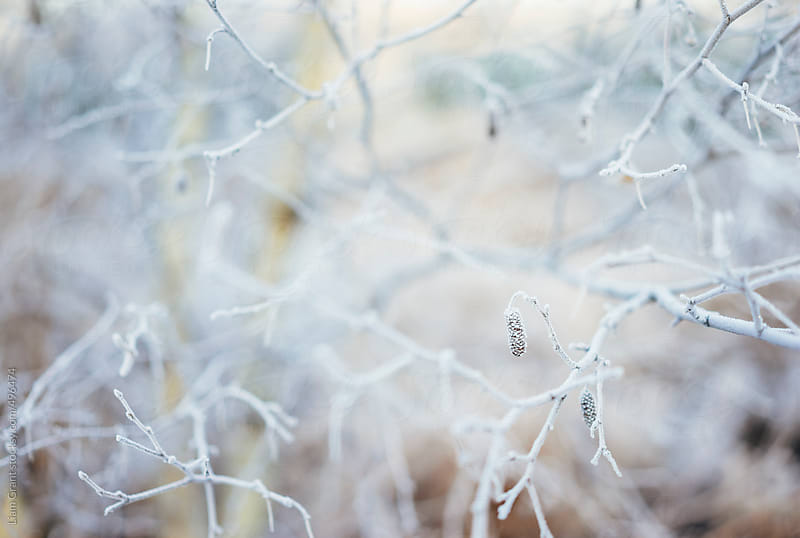Frost covered Birch tree branches.  by Liam Grant for Stocksy United