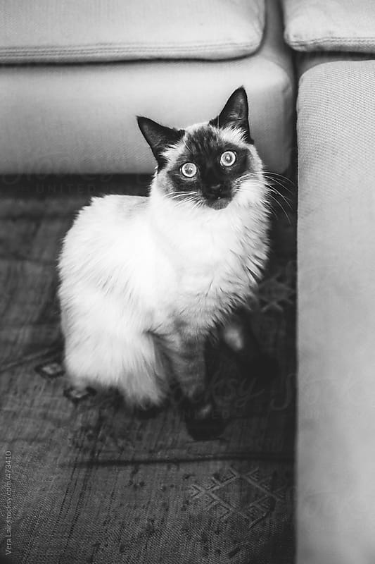 Siamese cat by Vera Lair for Stocksy United