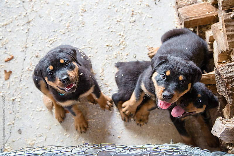 Adorable Rottweiler puppies in a pen with sawdust by Carolyn Lagattuta for Stocksy United
