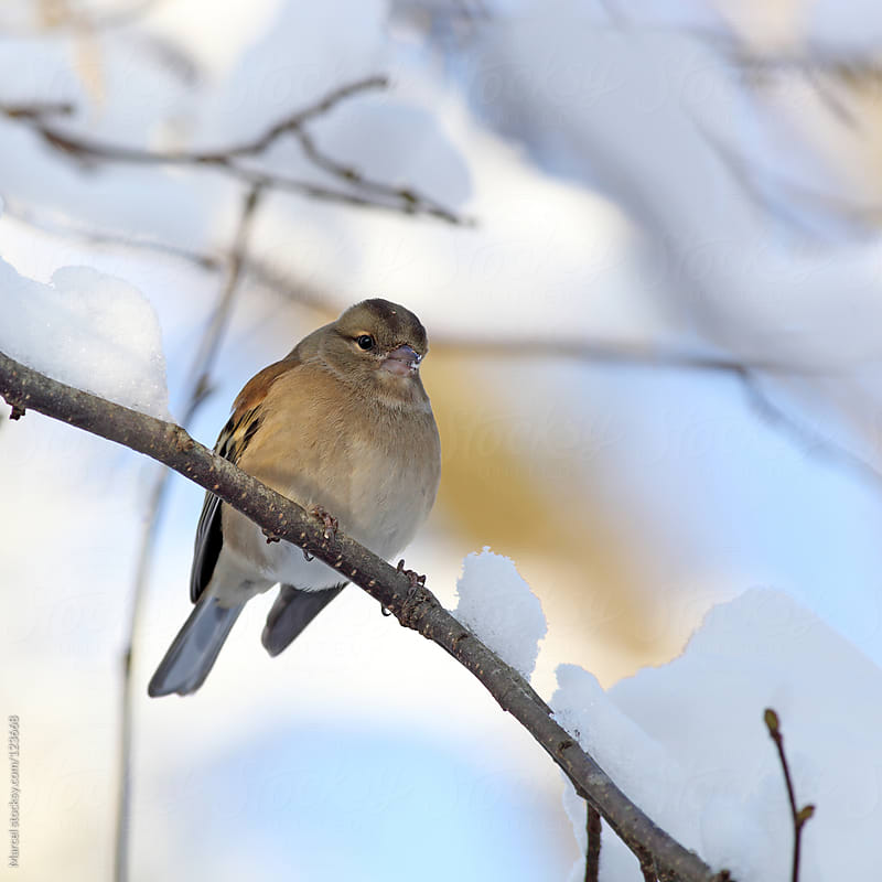 Chaffinch sitting on a branch covered with snow. by Marcel for Stocksy United