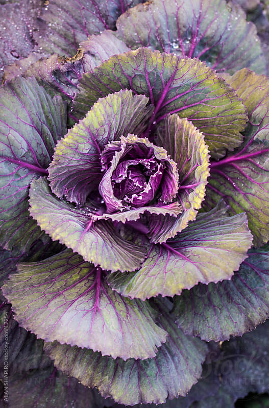 Cabbage by ALAN SHAPIRO for Stocksy United