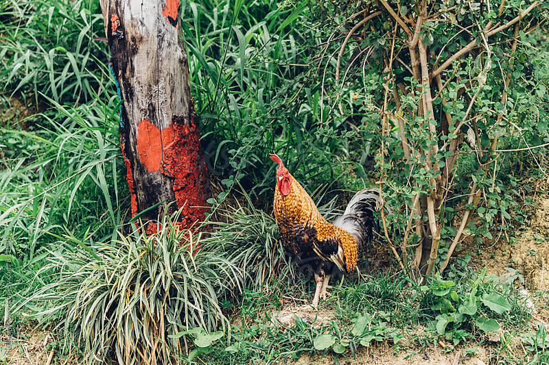 Rooster in the weeds by Richard Brown for Stocksy United