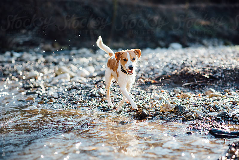 Dog running by the river by Boris Jovanovic for Stocksy United