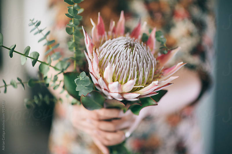A pink protea, close-up by Adrian Cotiga for Stocksy United