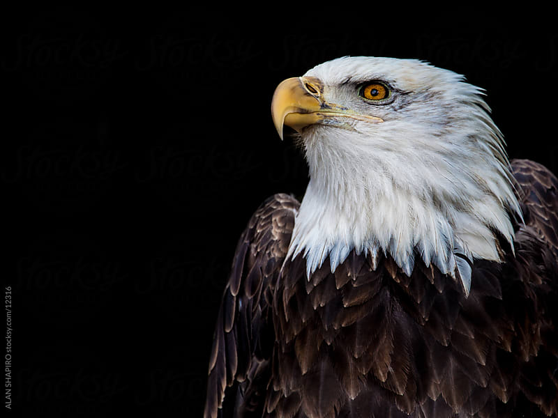 Bald Eagle by ALAN SHAPIRO for Stocksy United