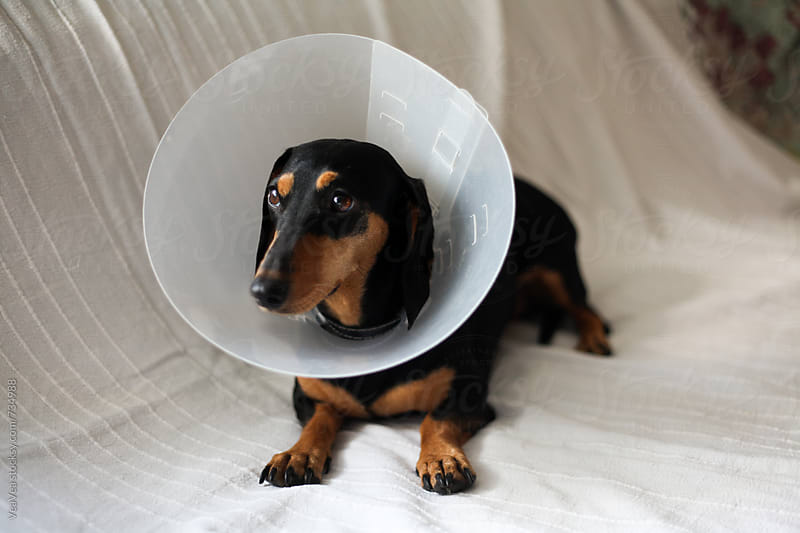 Cute dachshund wearing a dog cone lying on the couch  by Marija Mandic for Stocksy United