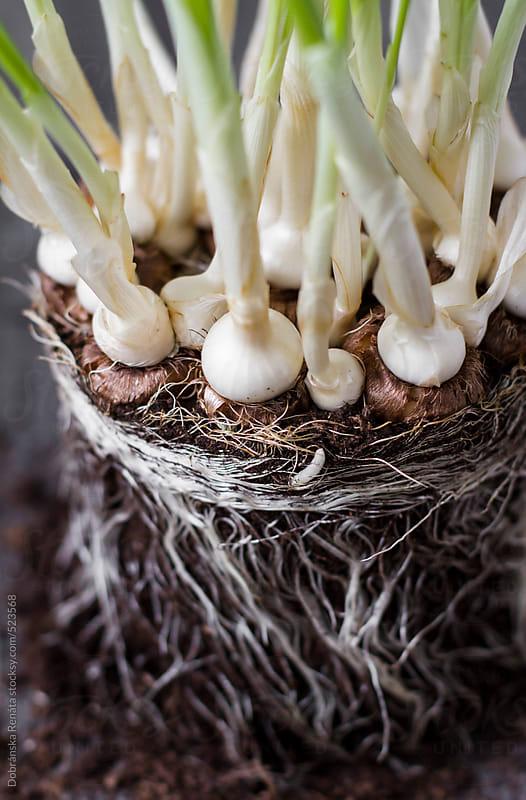 spring planting bulbs by Dobránska Renáta for Stocksy United