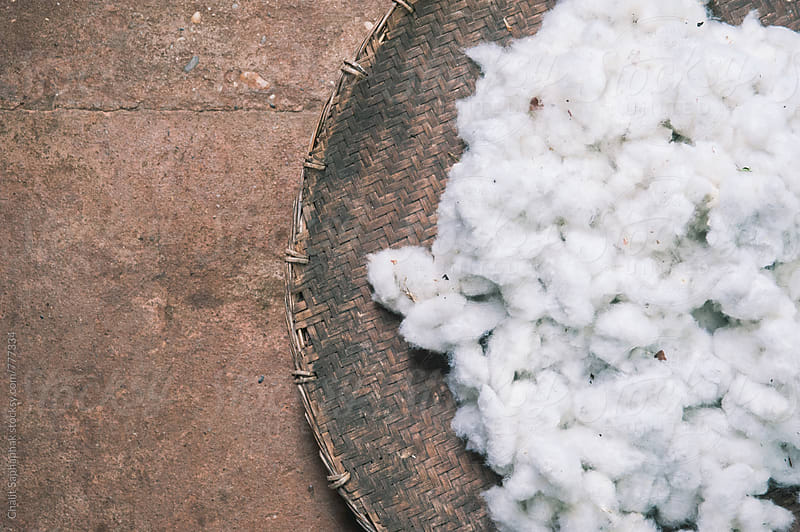 Cotton by Chalit Saphaphak for Stocksy United