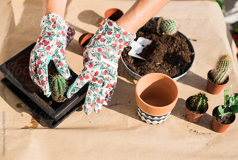 Female Hands Replanting Cactus  by Mosuno for Stocksy United