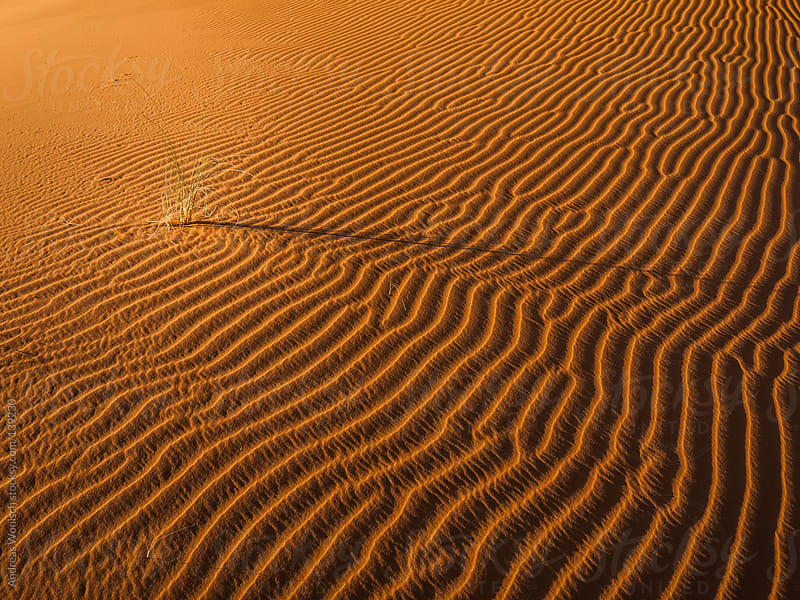 Lonely Plant among Desert Sand Dunes by Andreas Wonisch for Stocksy United