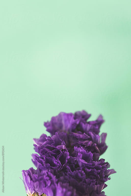 Purple Flower On A Mint Green Background by Alison Winterroth for Stocksy United