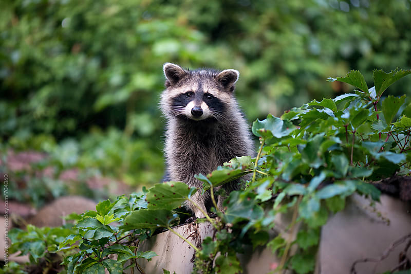 Raccoon  by Jeff Wasserman for Stocksy United
