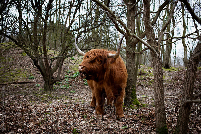Hungry highlander eating a tree by Koen Meershoek for Stocksy United