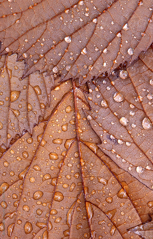 closeup macro underside brown leaves water droplets raindrops dewdrops  by Ron Mellott for Stocksy United