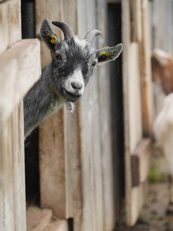 Curious goat peeking through the door of a wooden shed by rolfo for Stocksy United