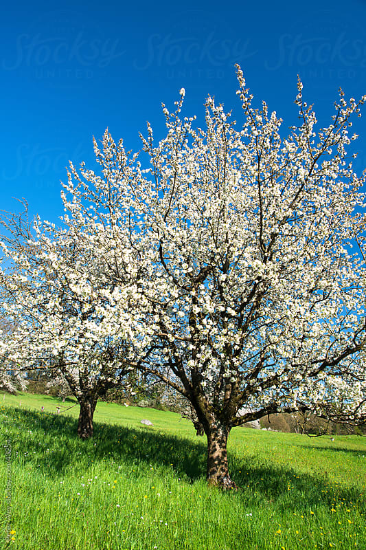 Blossoming cherry trees in spring on green field by Peter Wey for Stocksy United