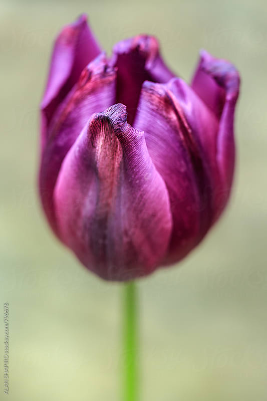 Purple Tulip in the garden by alan shapiro for Stocksy United