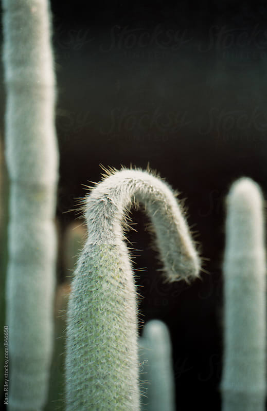 Cleistocactus by Kara Riley for Stocksy United