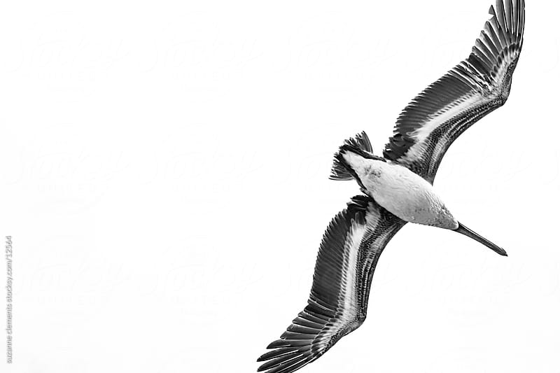 Black and White Pelican from Worm's Eye View by suzanne clements for Stocksy United