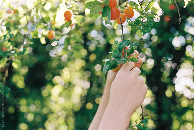 Hands picking cherry plums from a tree by Helen Rushbrook for Stocksy United