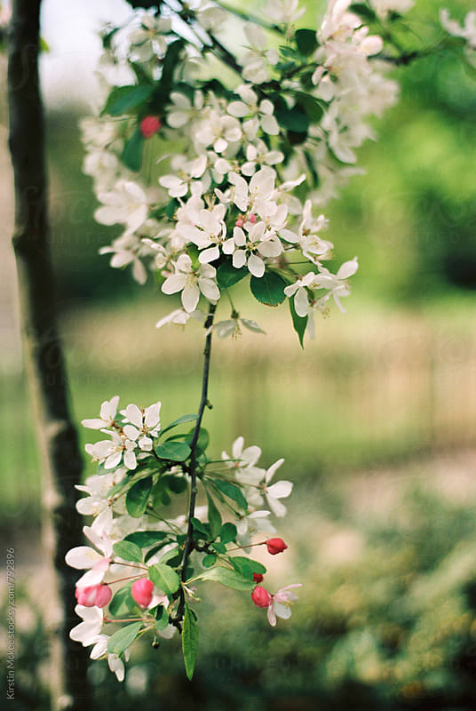 Branch of apple blossom by Kirstin Mckee for Stocksy United