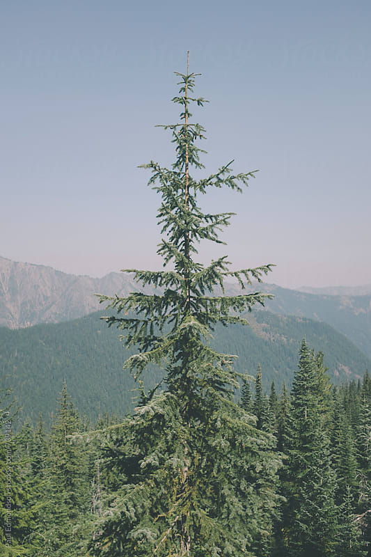White pine evergreen in the Central Cascades, WA by Paul Edmondson for Stocksy United