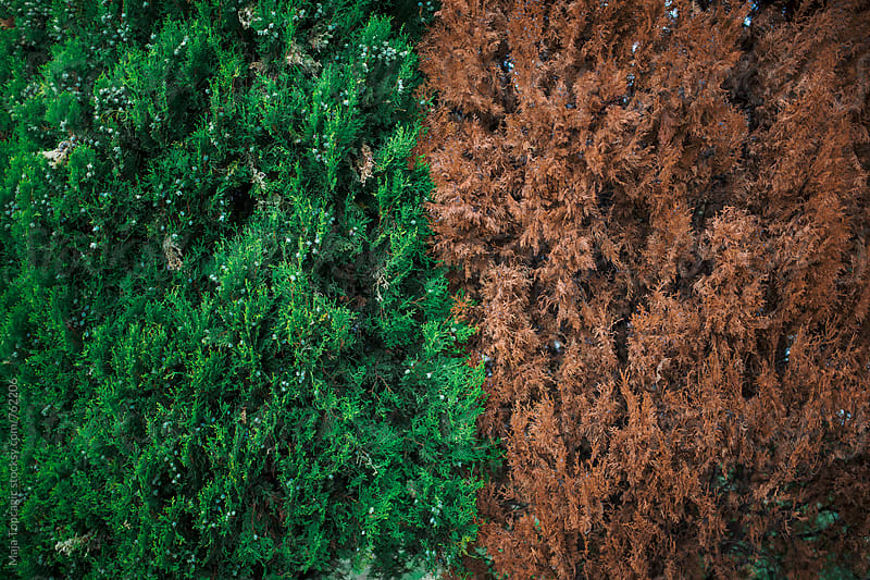 One green, one brown cypress by Maja Topcagic for Stocksy United