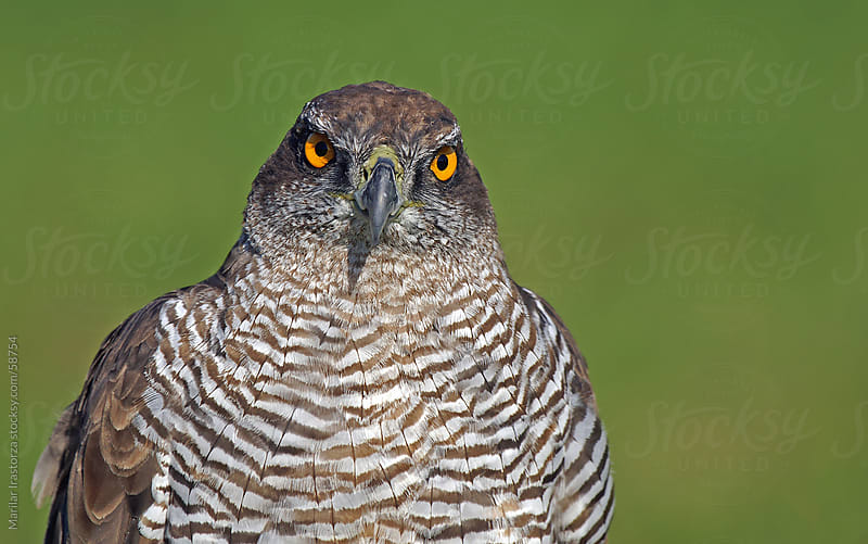 Northern Goshawk by Marilar Irastorza for Stocksy United