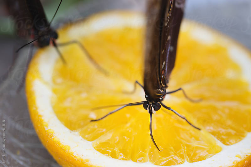 Closeup of butterflies drinking from an orange slice with probiscus by kelli kim for Stocksy United